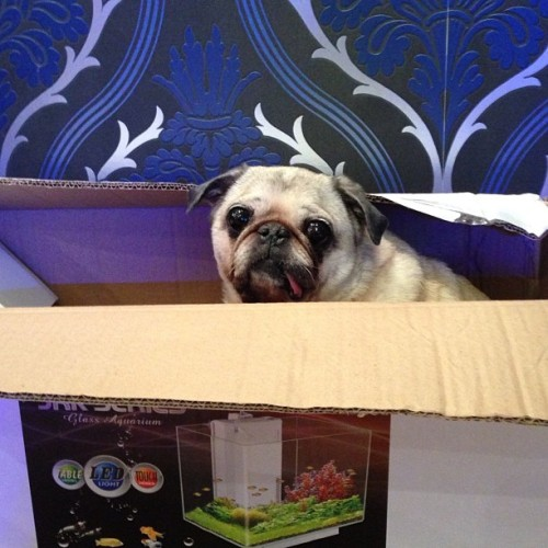 Mugsey is homeless #pugs #pug #doginabox #puglife