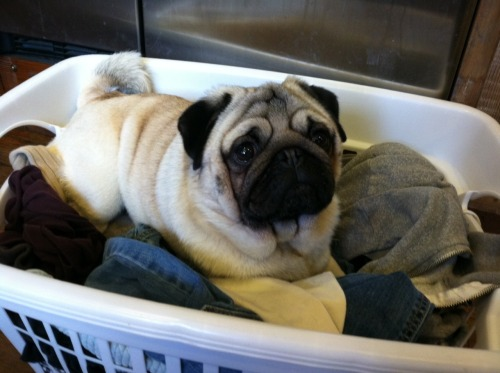 littlevisibledelight:  pugsnroses:  Pugs like to help with the laundry (even when we wish they wouldn't…)  #this laundry basket looks nice and warm #so maybe i'll jump in and get fur all over your clean clothes