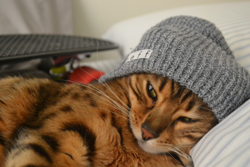 enigmanova:  lexifey:  THIS IS THE CUTEST THING EVER OMFTGBHUBJA  Hipster cat