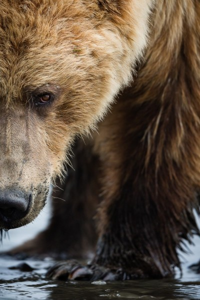 radivs:  'Grizzly Close-up' by Brice Petit