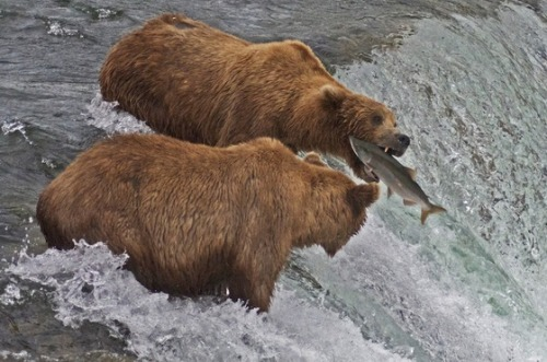 A couple of brown bears go fishing in Katmai National Park. Not a bad catch!Photo: Susan Swick