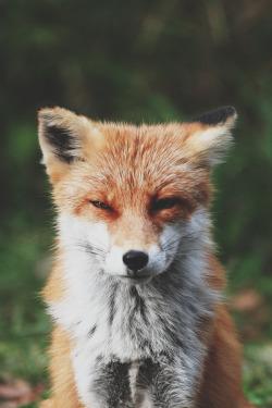 animal nature stoned fox foxxy