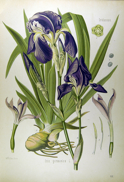 wapiti3:  Iris Germanica