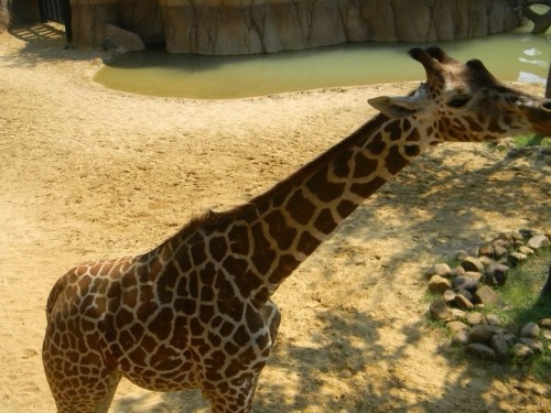 dose-of-beauty:  While feeding the giraffes at the Dallas Zoo in Texas on August 17, 2011.