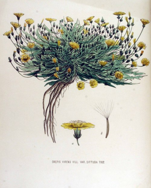 "Crepis virens (Hawk's Beard, aka garden weed). Flora Batava (Plants of the Netherlands, 1877), Vol. 15.  Crepis Virens: ""Crepis, Pliny, is from the Greek crepis, a kind of boot; and the second Latin name means green, fresh. It was called Hawkbit because the hawk was supposed to pluck it and smear its eyes with it to improve its vision."" ~British Wildflowers in Their Natural Haunts (1919)"
