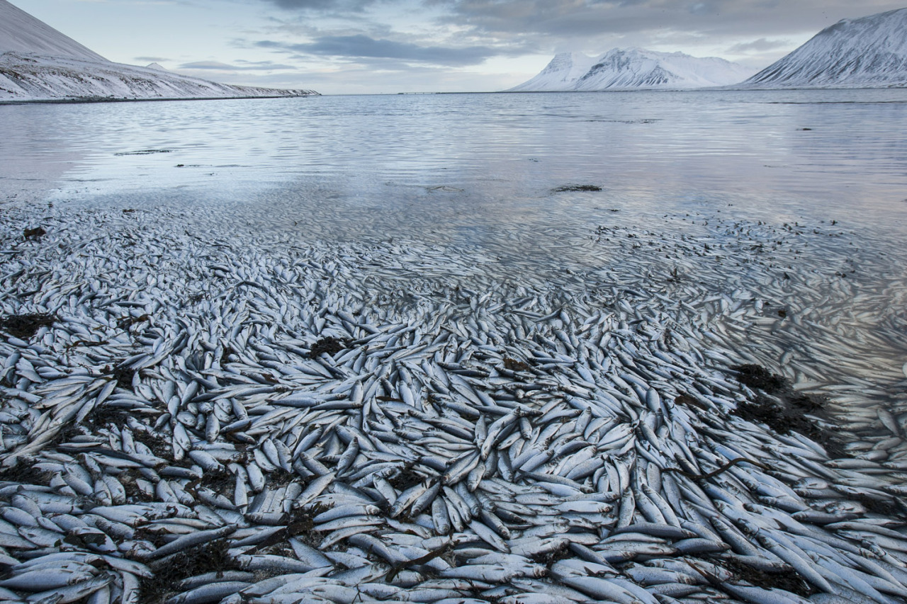 thisthattheother: Feb. 5 2013. Herring, worth billions in exports, are seen floating dead in Kolgrafafjordur, a small fjord on the northern part of Snaefellsnes peninsula, in western Iceland (Brynjar Gauti—AP).