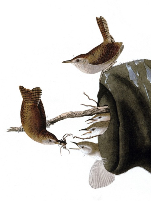 Detail of Plate 83 of The Birds of America by John Audubon, the House Wren.