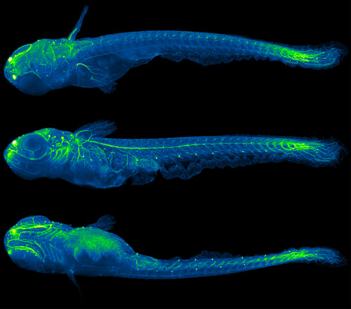 nervous system of a 5mm long juvenile medaka (Japanese killifish) outlined influorescently-labeled tubulin, the beta form of which is expressed only in neural tissue light sheet microscopy credit: Philipp J. Keller, HHMI Janeli Farm, and Lazaro Centanin and Annette D. Schmidt, EMBL