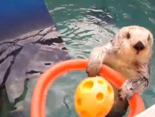 vh1:  Forget Air Bud, this otter can dunk!  OBSESSED