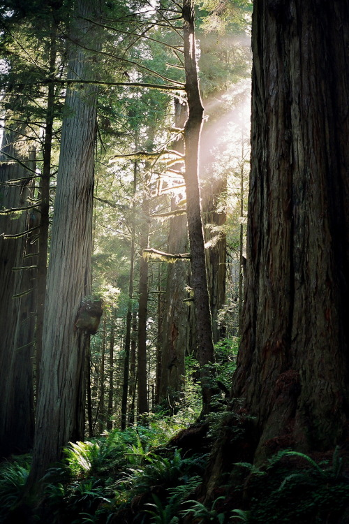 Afternoon in the Redwoods