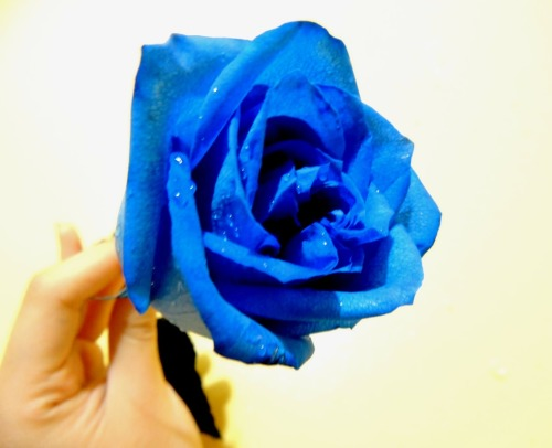 my blue rose ♥