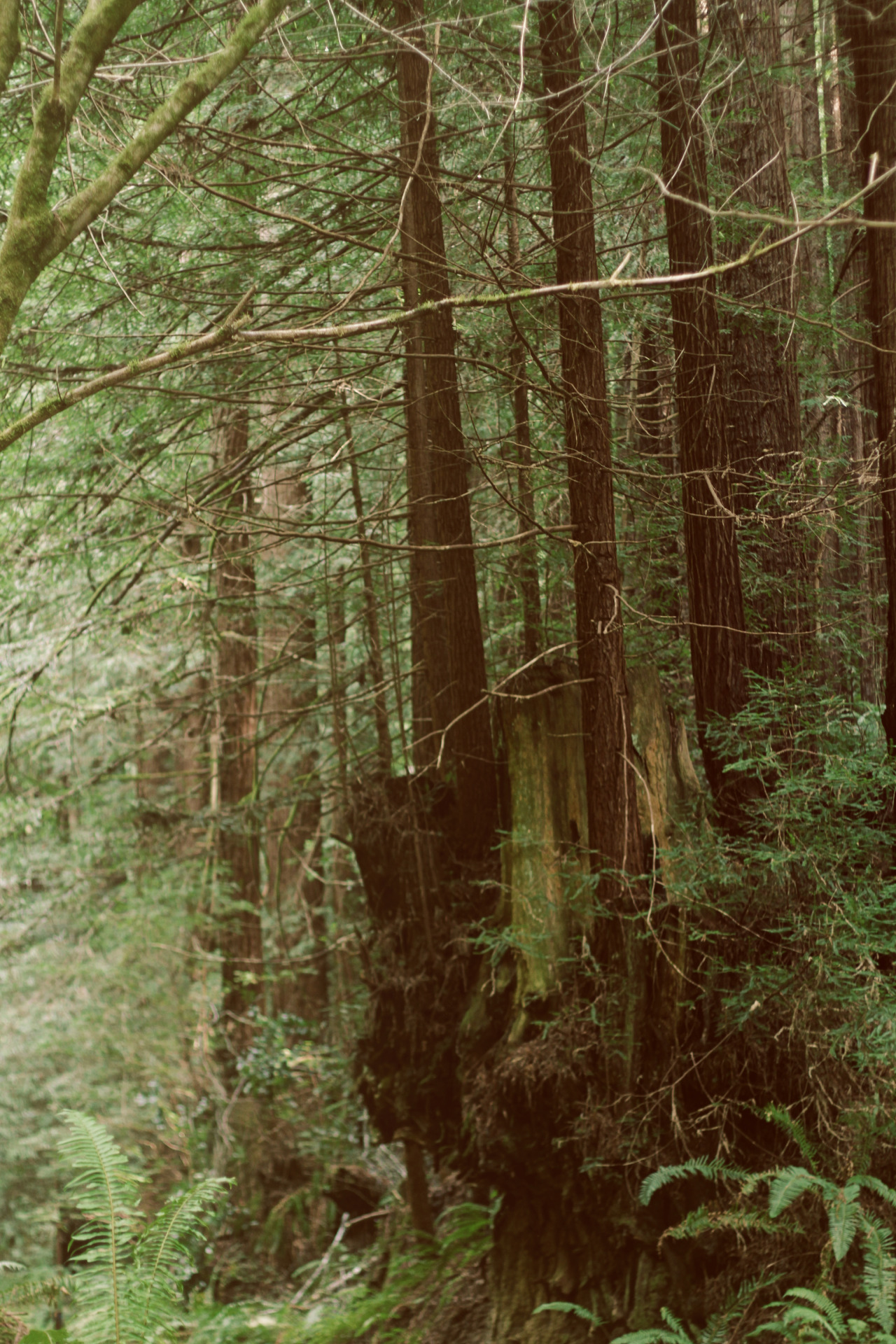predictablytypical:  Floating redwoods so captivating.