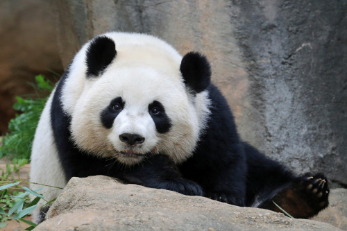 giantpandaphotos:  Po at Zoo Atlanta, Georgia, on April 14, 2013. © SmileyBears.