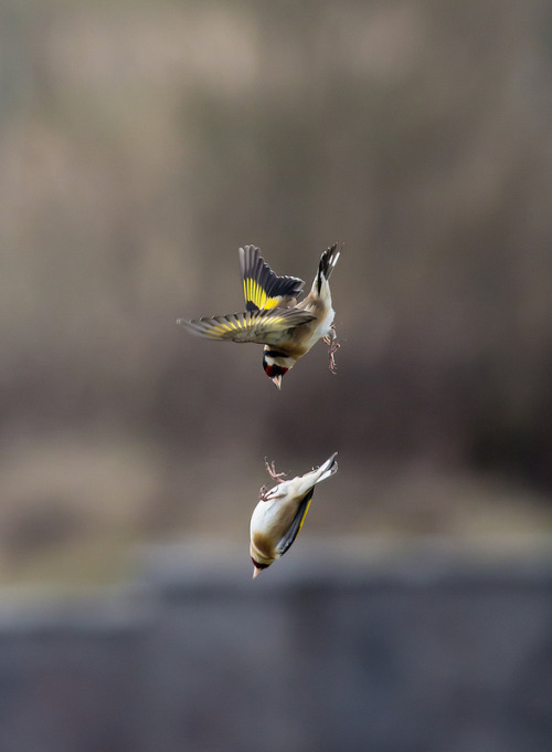 fairy-wren:  European Goldfinches. Photo by micks-pics