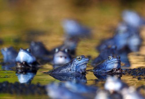 rorschachx:  Moor frogs (Rana arvalis) temporarily turning blue at the Ljubljana Marshes, Slovenia. It is thought that males turn blue during the mating season so they can quickly distinguish males from females among the dense frog populations | image by Luka Esenko