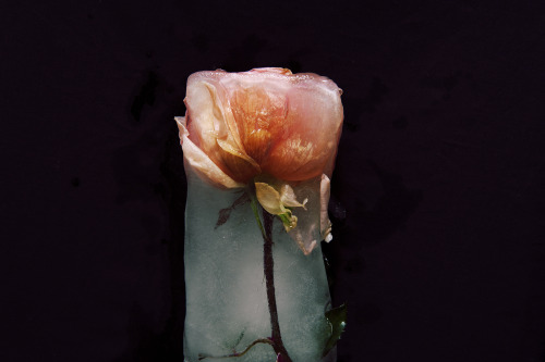 thinhdong:  Frozen roses #3