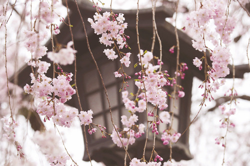 Weeping Cherry (by peaceful-jp-scenery(busy))