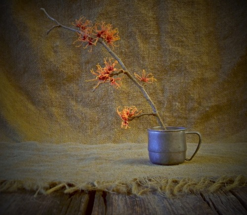 Witch Hazel still life. Digital. Nikon Coolpix L110.