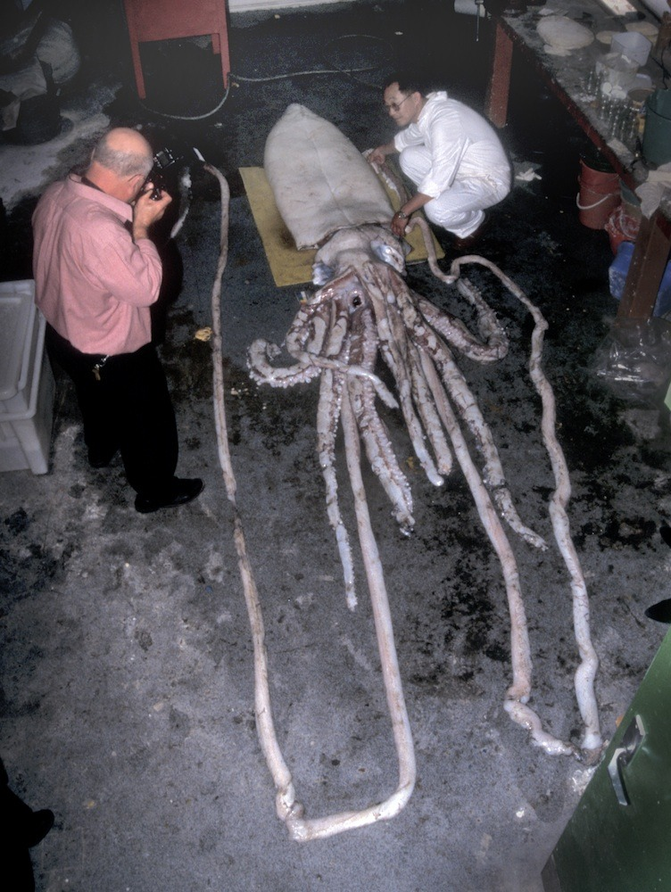 "rhamphotheca:  'Giant Squid' Are Indeed All One Species by Stephanie Pappas Though they roam the deep sea around the globe, enigmatic giant squid are all part of the same species, new research finds. The new study reveals that the genetic diversity of giant squid (Architeuthis) is remarkably low — far lower than that of other marine species examined, said study researcher Tom Gilbert of the University of Copenhagen. The findings suggest that the squid intermingle and mate across the globe. ""The results are extremely surprising,"" Gilbert told LiveScience. Giant squid are mysterious creatures. They dwell in the deep ocean, making them difficult to observe in their natural habitats. In fact, no one had observed a live giant squid in the wild until 2004. The first video of a live giant squid wasn't released until this year. The animals appear to grow as long as 60 ft (18 m) and are carnivores that prey on fish and other squid… (read more: Live Science)                     (photo: Mark Norman)"