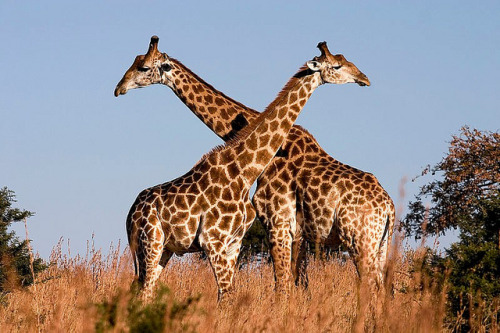 Giraffe_Ithala_KZN_South_Africa_Luca_Galuzzi_2004 by Inf-Lite Teacher on Flickr.