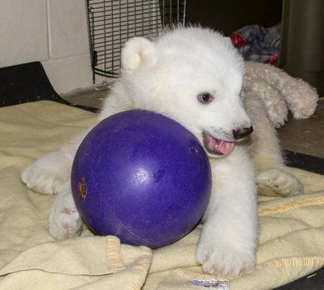 Life is good knowing this exists.   kategardiner:  This is a baby polar bear with a ball. (via @Grist)