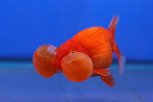 Bubble Eye Goldfish (Carassius auratus auratus) Fancy goldfish varieties are the result of the selective breeding of traits that would normally disadvantage a fish in the wild. In the safe, controlled environment of an aquarium, such traits can be proliferated and emphasised over several generations. Lerdsuwa  on Wikimedia Commons