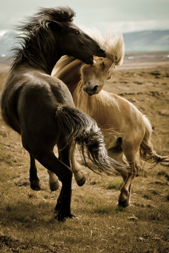 thepaintedbench:  Icelandic Horses, National Geographic