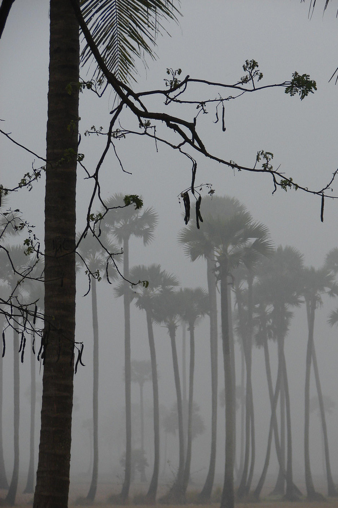 Palmyra Trees Covered with Fog