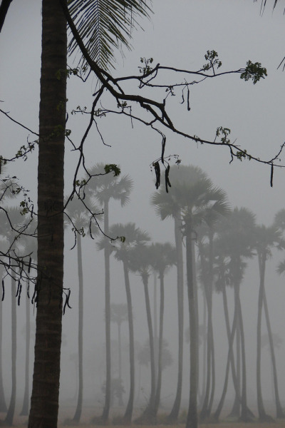 anotic:  Palmyra Trees Covered with Fog