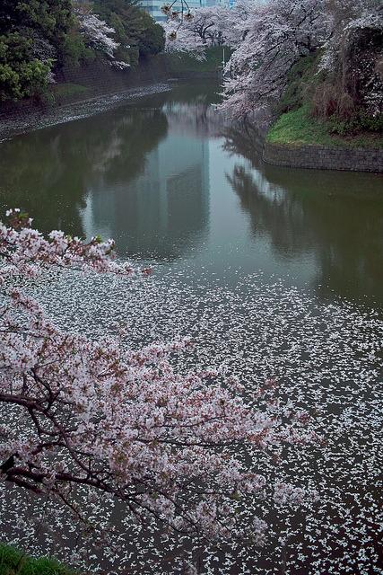fuckyeahjapanandkorea:  Sakura Climax by shinichiro*_OSAKA&