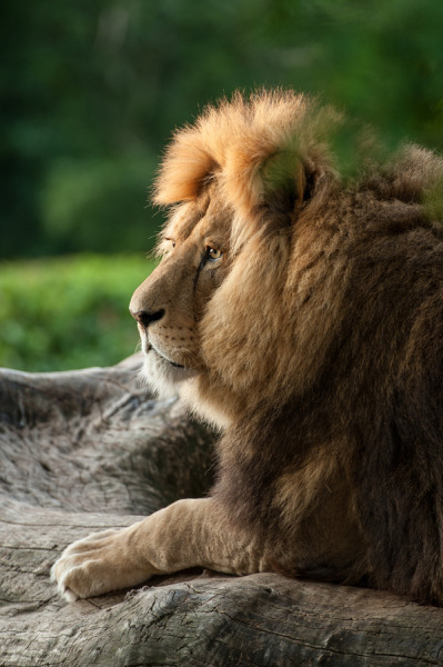 earthsfinest:  Lion in the afternoon light by Peter Hausner Hansen