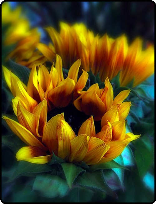 sunflowers opening..