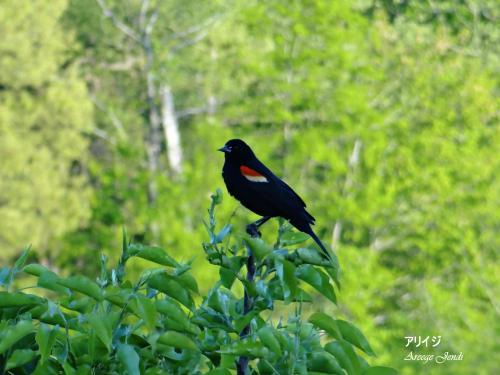 A male Red Winged Blackbird.