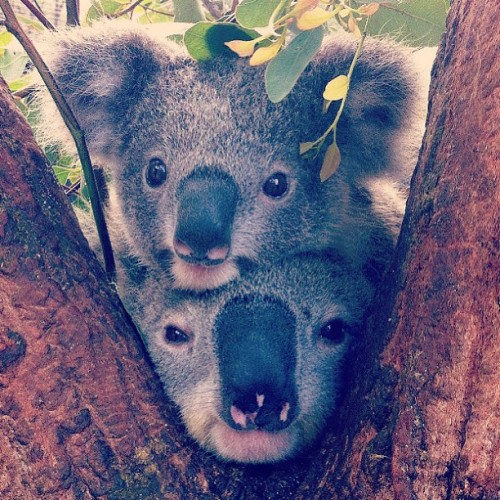 #koalas #australia #australia_day #iphoneonly #photooftheday #jordi_sanz