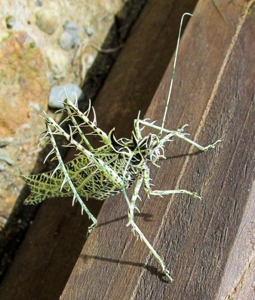 insectlove:  son-pereda: via Project Noah. Check out the amazing camouflage of the lichen katydid in our spotting of the day! Lichen katydid (Markia hystrix) spotted by LuzPiedadCurran-Gärtner http://www.projectnoah.org/spottings/21755032