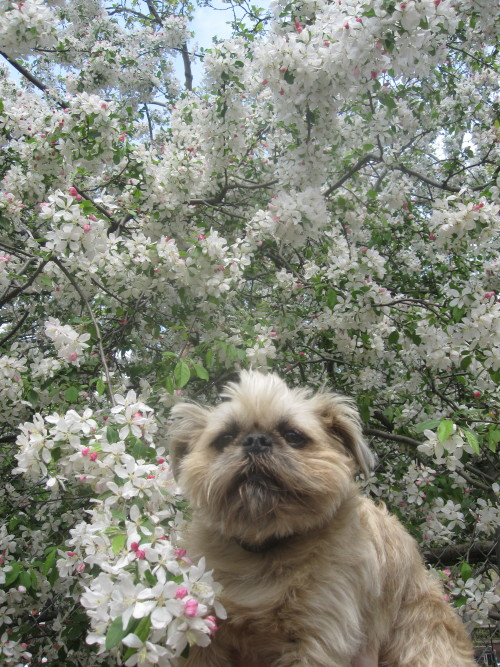 Angus in the sky with blossoms Vintage NYC BRUSSELS GRIFFON