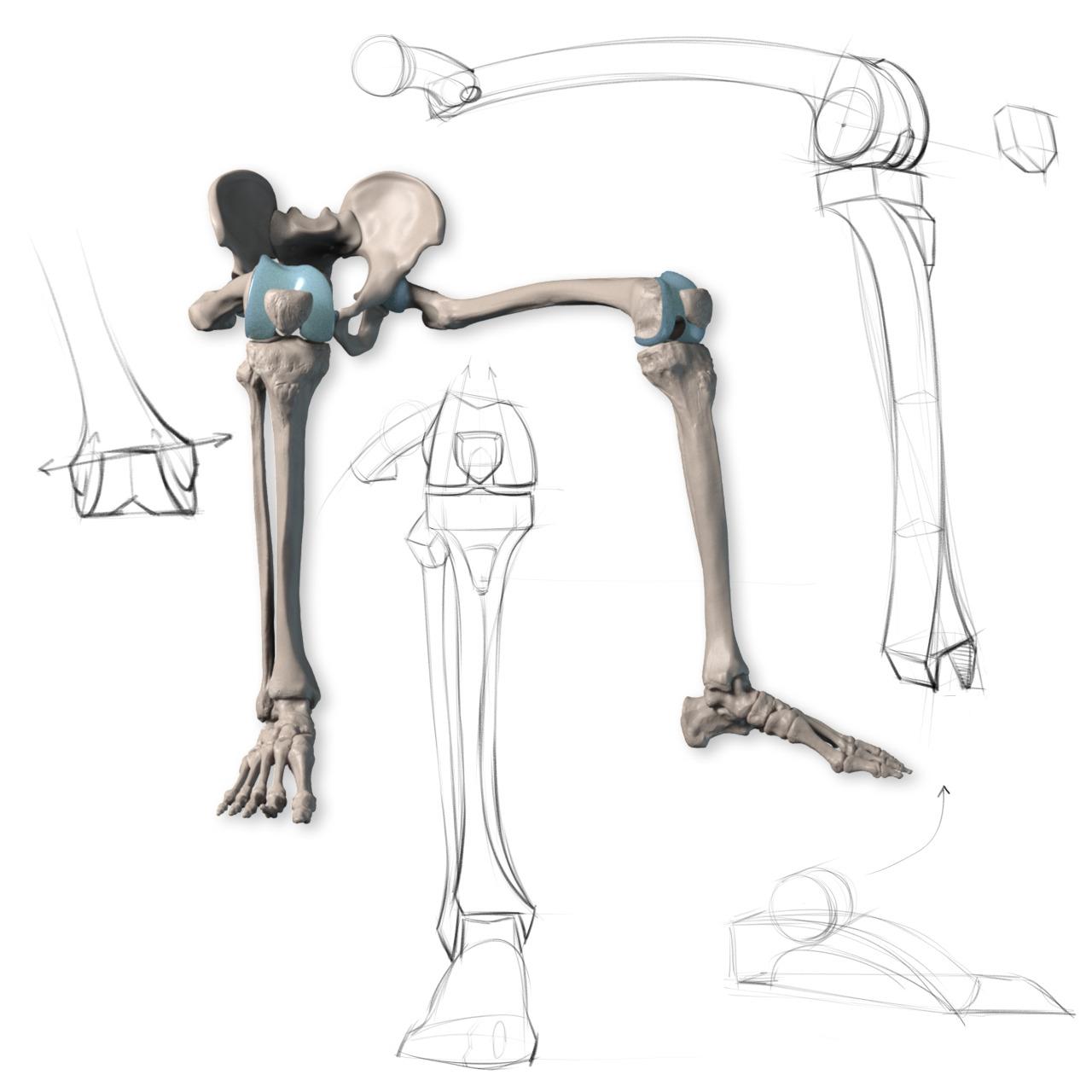Stan Prokopenko — Leg Bone Anatomy Tracings