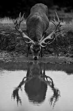 animalgazing:  Red Deer Reflection by Old-Man-George