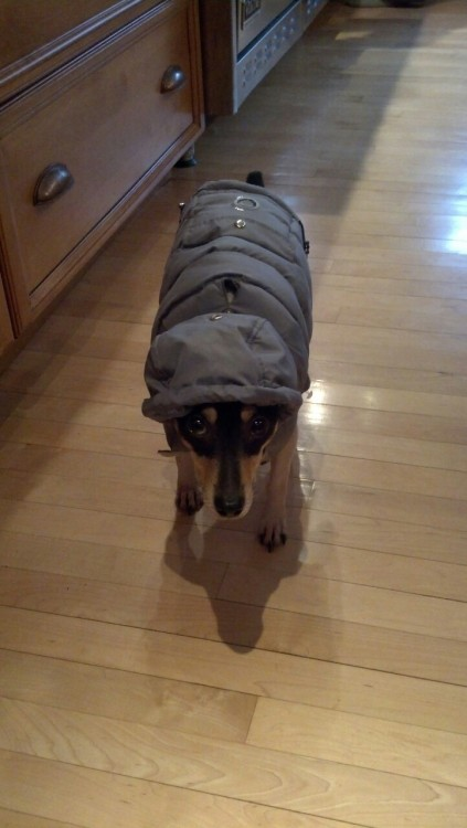 Umbagog!Max now also has goofy winter dog jacket.