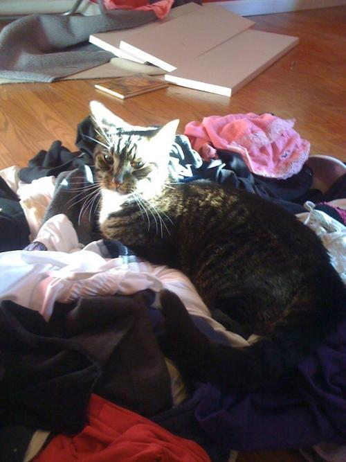 get off of there cat. that laundry must be put away.
