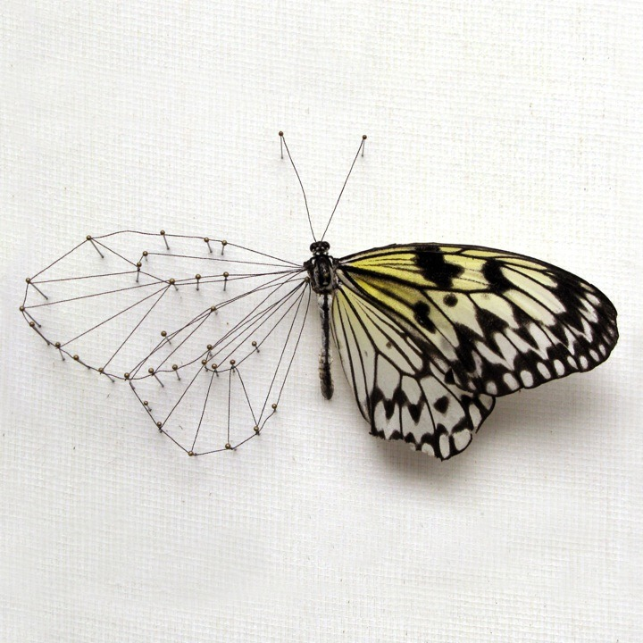 Anne ten Donkelaar created the series 'Broken Butterflies' out of a collection of damaged butterflies. Looking at them, Anne decided to repair each one differently according to their needs. She restored body parts using gold, old maps, roots, threads and embroidery and gave the insects new names, names that reveal something about their recovery.