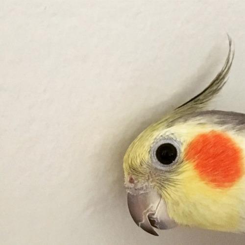 cockatiel parrots of tumblr parrot mistew pwesident birb face