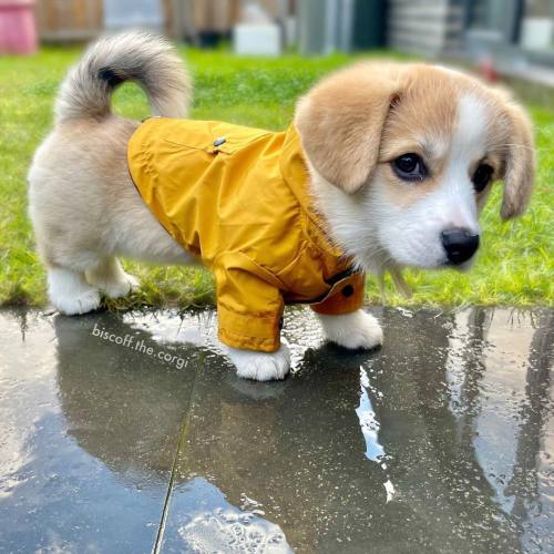 """""""Does this puppy realize how cute he is?!"""" https://www.reddit.com/r/aww/comments/pofz4h/does_this_puppy_realize_how_cute_he_is/?utm_source=ifttt #aww#cute#adorable#reddit#un-ambiguoususername"""