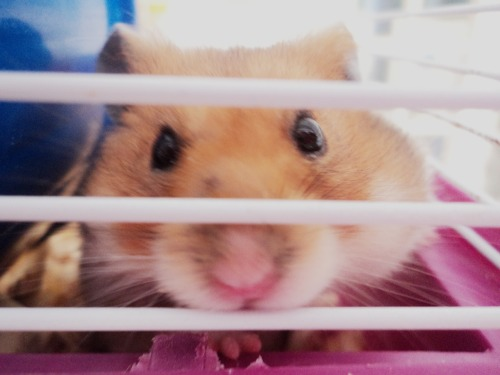 """My cute hamster Roger"", submitted by http://otakunessan.tumblr.com/"