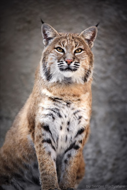 "magicalnaturetour:  ""Red bobcat"" by sergei gladyshev"