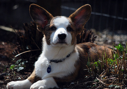 "simonsaysbark:  Caleb week and Corgi puppy Friday… :) ""I know you said we're going in the house, but… um, I can't hear you."" ""You have ears, Caleb. Use em."""