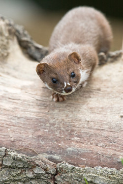 animalgazing:  Weasel by ankehuber on Flickr.