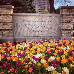 It's #spring time @coloradostateuniversity! #tulips #CSURams #campus #flowers #colostate