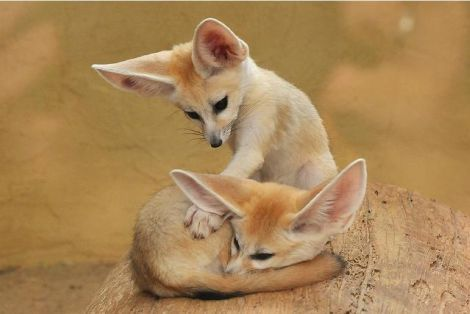 weepingswallows:  New life goal: Get a Fennec Fox as a pet.