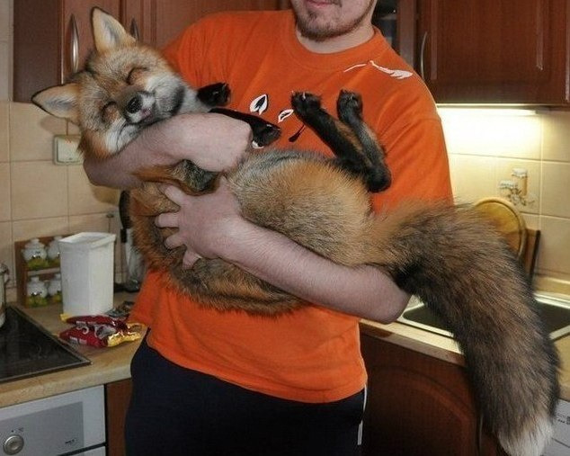 thebigblackwolfe:  LOOK AT THIS LOOK AT THIS HAPPY ASS FOX